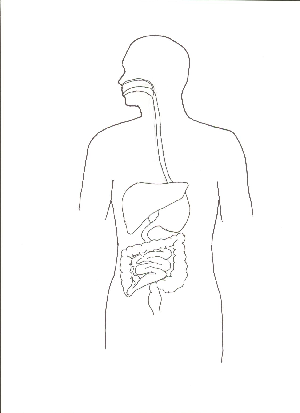 an analysis of the digestive system of a human body The human body food, nutrition & digestion food, nutrition & digestion that are released at various points along the digestive system substances which our body needs cannot be absorbed into our blood until they have been broken down digestive system diagram the digestive process is.
